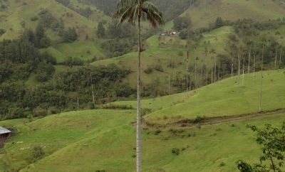 Colombia´s national tree, the wax palm, is virtually unprotected…